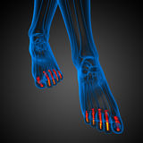 3d render illustration of the human phalanges foot Stock Photo