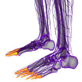 3d render illustration of the human phalanges foot Stock Images