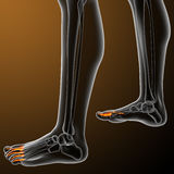 3d render illustration of the human phalanges foot Stock Image