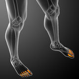 3d render illustration of the human phalanges foot Royalty Free Stock Image
