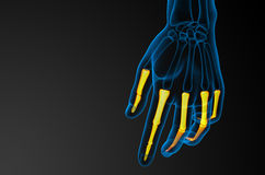 3d render illustration of the human phalanges hand Stock Photos