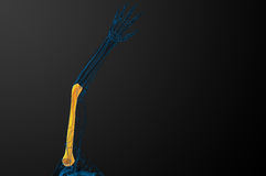 3d render  illustration of the humerus bone Stock Photography