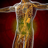 3d render illustration of the male lymphatic system Stock Photo