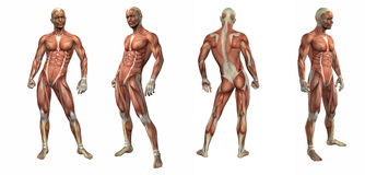 3d render illustration of the muscular system Royalty Free Stock Photos