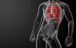3d render illustration of the rib cage Stock Image