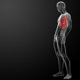 3d render illustration of the rib cage Royalty Free Stock Photography