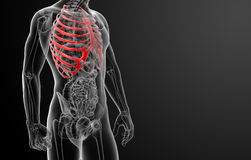 3d render illustration of the rib cage Royalty Free Stock Image