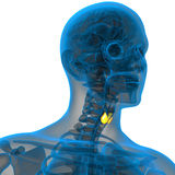 3d render illustration of the thyroid gland Stock Photography