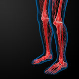 3d render lymphatic system visible leg Stock Photo