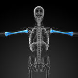 3d render medical 3d illustration of the humerus bone Stock Photography