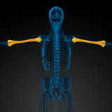 3d render medical 3d illustration of the humerus bone Royalty Free Stock Images