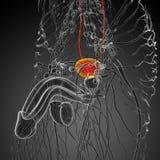 3d render medical illustration of the bladder Royalty Free Stock Image