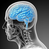 3d render medical illustration of the brain Stock Photography