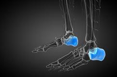 3d render medical illustration of the calcaneus bone Royalty Free Stock Photos