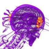 3d render medical illustration of the carpal bone Royalty Free Stock Image