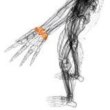 3d render medical illustration of the carpal bone Royalty Free Stock Images