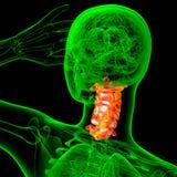 3d render medical illustration of the cervical spine Stock Photos