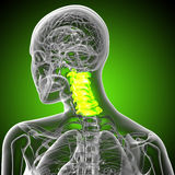 3d render medical illustration of the cervical spine Royalty Free Stock Image