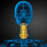 3d render medical illustration of the cervical spine Royalty Free Stock Photography