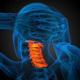 3d render medical illustration of the cervical spine Royalty Free Stock Photo