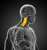 3d render medical illustration of the cervical spine Stock Image