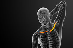 3d render medical illustration of the clavicle bone Stock Photography