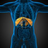 3d render medical illustration of the diaphragm Royalty Free Stock Photography
