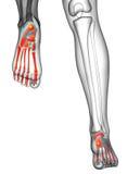 3d render medical illustration of the feet bone Stock Photo