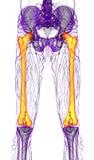3d render medical illustration of the femur bone Royalty Free Stock Images