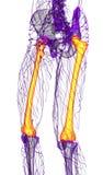 3d render medical illustration of the femur bone Stock Photography