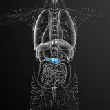 3d render medical illustration of the gallblader and pancrease Royalty Free Stock Photos