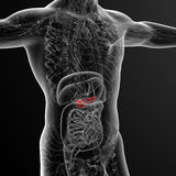3d render medical illustration of the gallblader and pancrease Stock Photos