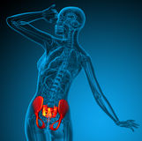 3d render medical illustration of the hip Royalty Free Stock Photo