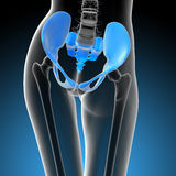 3d render medical illustration of the hip bone Stock Images