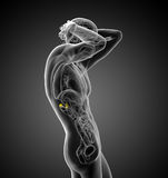 3d render medical illustration of the human adrenal Royalty Free Stock Photo