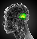 3d render medical illustration of the human brain cerebrum Royalty Free Stock Photography