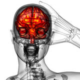 3d render medical illustration of the human brain Stock Photography