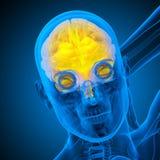 3d render medical illustration of the human brain Stock Image