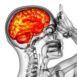 3d render medical illustration of the human brain Stock Photos