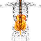 3d render medical illustration of the human digestive system Stock Images