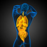 3d render medical illustration of the human digestive system and Stock Image