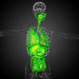 3d render medical illustration of the human digestive system and Stock Photos