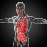 3d render medical illustration of the human digestive system and Royalty Free Stock Photos