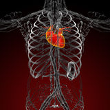 3d render medical illustration of the human heart Stock Photos