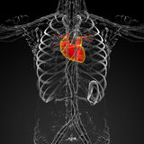3d render medical illustration of the human heart Stock Photo