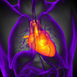 3d render medical illustration of the human heart Royalty Free Stock Images