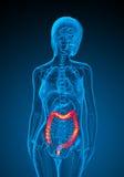 3d render medical illustration of the human larg intestine Stock Photo