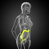3d render medical illustration of the human larg intestine Royalty Free Stock Photography