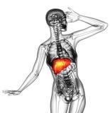 3d render medical illustration of the human liver Stock Photos
