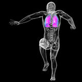 3d render medical illustration of the human lung Stock Photos